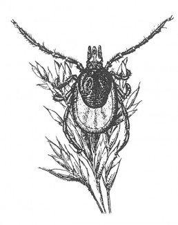 Skovflåt griber med forreste benpar