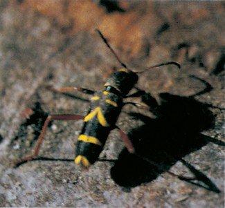 Smukke aftegninger på hvepsebukken