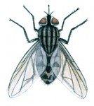Stikfluen