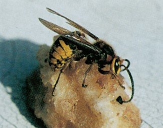 Stor gedehams, hveps i frugt