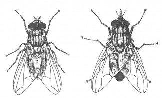 Stueflue og stikflue
