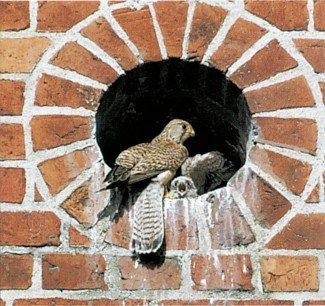 Tårnfalk fodrer sine unger