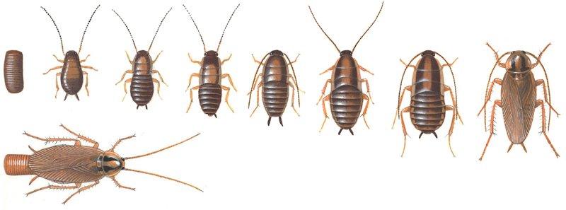 Tysk kakerlak, udvikling