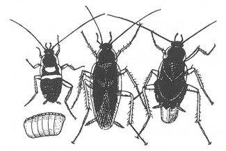 Æg, unge og voksne af brunstribet kakerlak