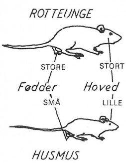 Definition på sort rotte