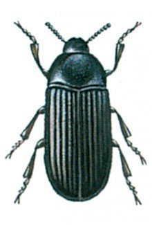 Den lille melbille, Alphitobius diaperinus