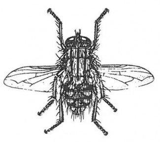 Den store kødflue