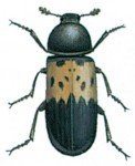Flæskeklanneren, Dermestes lardarius