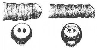 Forskel på stueflue, kødflue og spyflue