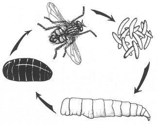 Fuldstændig forvandling hos stuefluen