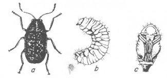 Kaffebønnebille, voksen, larve
