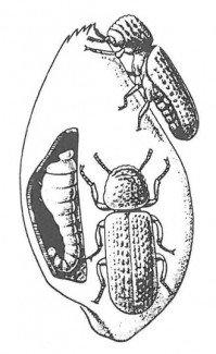 Kornkapuciner med larve i kerne