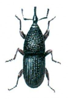Kornsnudebillen, Sitophilus granarius