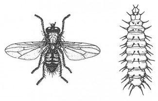 Lille stueflue, voksen og larve