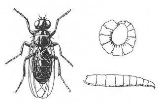 Osteflue, voksen og larver