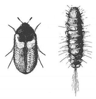 Reesa vespulae, voksen og larve