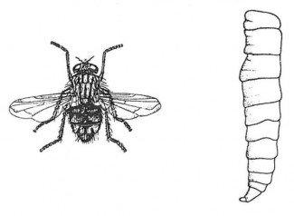 Stueflue, voksen og larve