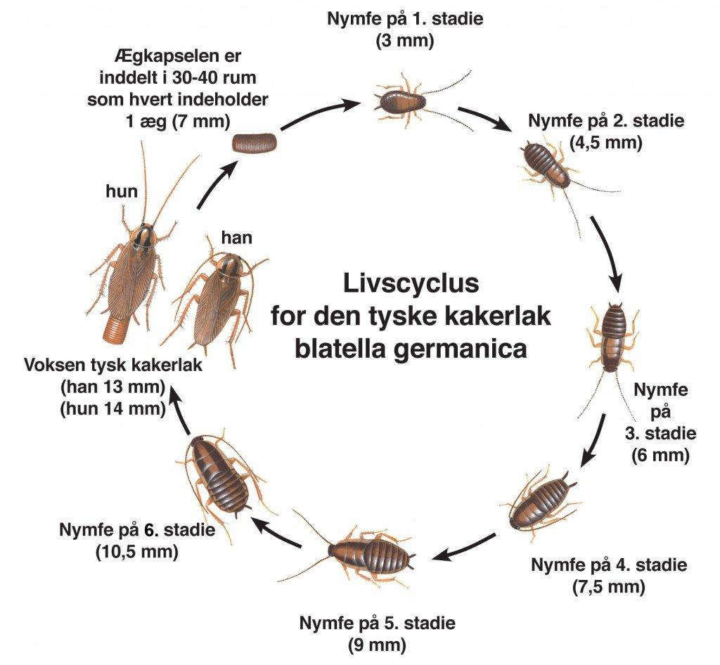 Livscyklus for tysk kakerlak