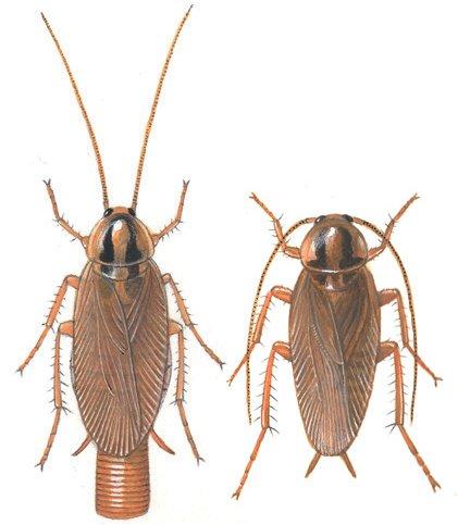 Voksen Tysk kakerlak, han og hun