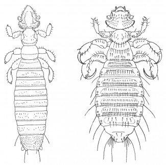 Gliricola Porcelli og Gyropus ovalis