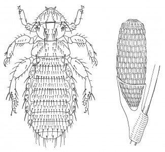 Pelslusen Trimenopon jenningsi og æg