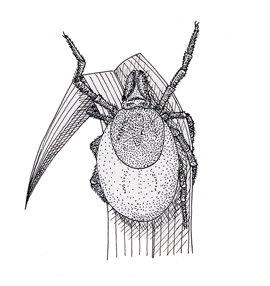 Flåt-nymfe, ixodeslarve