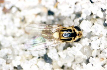 Græsflue, naturlig størrelse ca. 3 mm.
