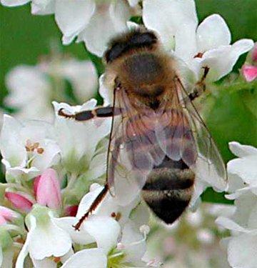Honningbi. Naturlig størrelse er ca. 10-12 mm.