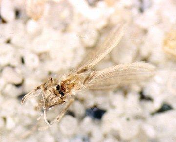 Sommerfuglemyg er ca. 2-3 mm