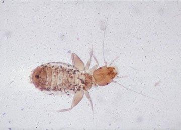 Støvlus, naturlig størrelse 1-2 mm
