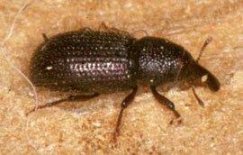 Boresnudebille, Pselactus spadix i naturlig størrelse på 3-4 mm.