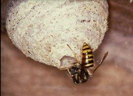 Hveps ved indgangshullet til hvepseboet