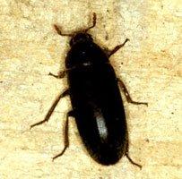 En voksen husklanner er ca. 7-9 mm