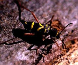 Hvepsebukken er en bille, der ligner en hveps