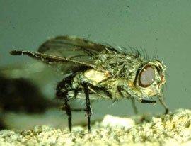 Klyngeflue med gyldne hår på forkroppen
