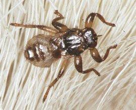 Lusfluer bliver op til 6 mm lange