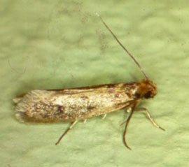 Pelsmøl; længde 5-7 mm