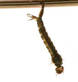 Myggelarven med sit ånderør i vandoverfladen