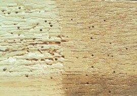 Træ angrebet af splintvedbiller