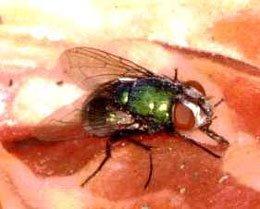 Spyfluearten Lucilia er grønne og metalskinnende