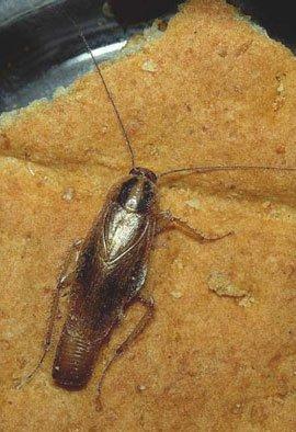 Tysk kakerlakhun med ægkapsel