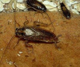 Tysk kakerlak og vingeløse nymfer