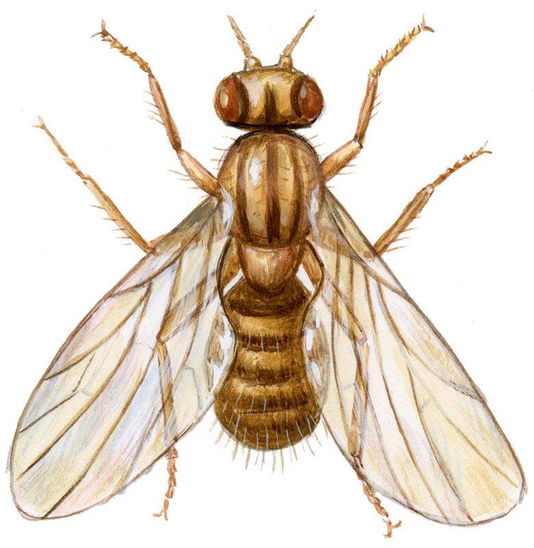 Bananflue også kaldet eddikeflue